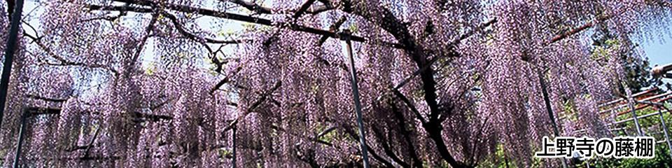 上野寺の藤棚