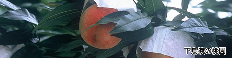 上鳥渡の桃